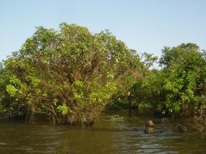 Disasters - mangroves